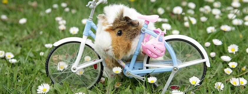 Guinea Pig on Bicycle with pink helmet - Willamette Valley Scenic Bikeway